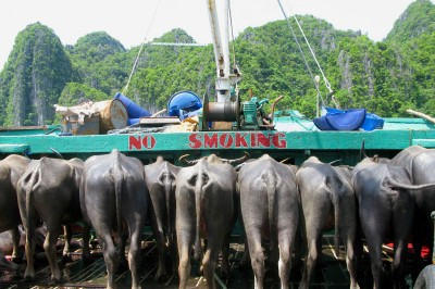 cargo ferry from el nido to coron with water buffalo