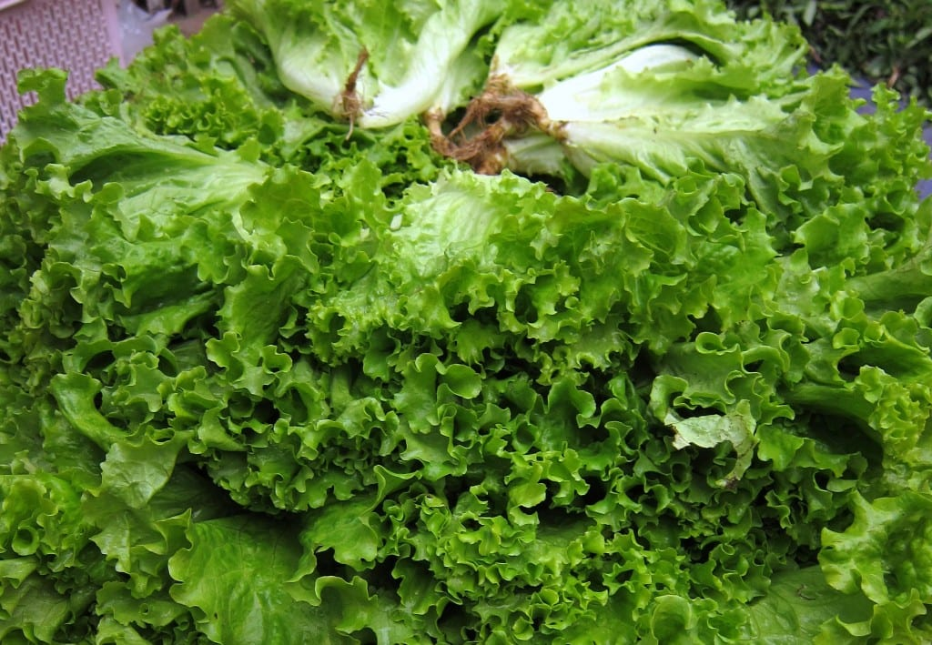 Have you seen greener lettuce than this?!