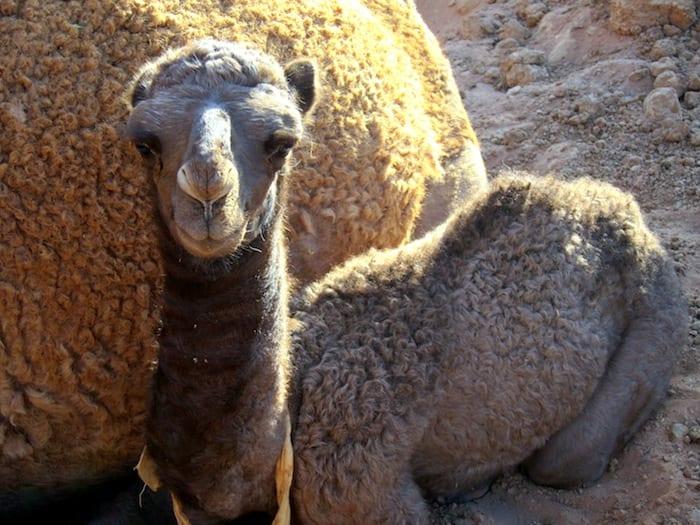 Baby Camel in Wadi Rum, Jordan