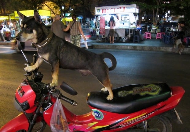 Dog on a Motorbike near Chiang Mai Gate, Thailand