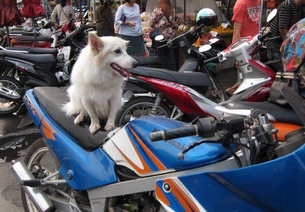 Dog on a motorbike in Thailand