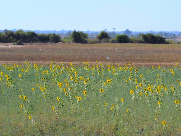 Sunflower fields on the route to Bhamo