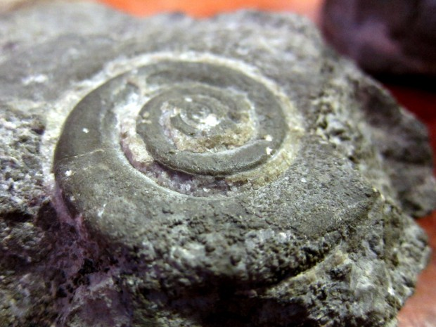 Ammonite fossil from Gros Morne National Park, newfoundland