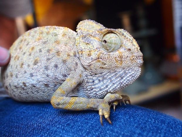 Pablo the Chameleon