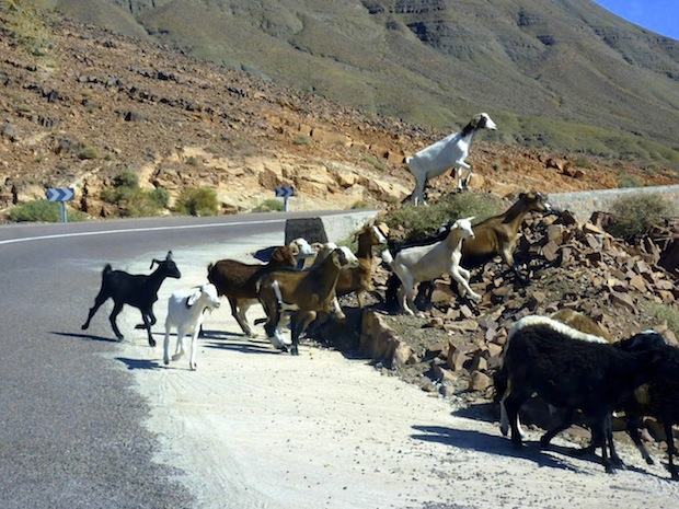 Driving in Morocco: goat crossing