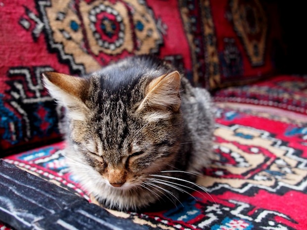 Why Are There So Many Cats in Istanbul?