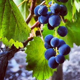 Douro valley grapes in Portugal