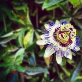 Passionfruit flower in Portugal's Douro Valley