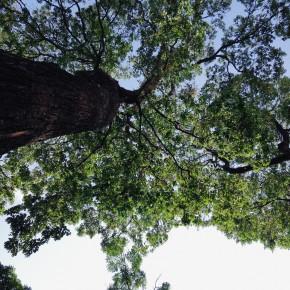 Saigon tree